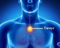 Състоянието на тимусната жлеза показва в какво състояние е имунната Ви система